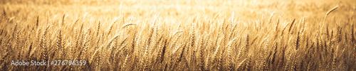 Fotografia  Natural Background Banner Of Ripe Golden Wheat - Harvest Time Concept