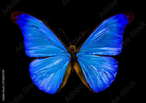 Obraz na plátně  butterfly morpho rhetenor on black background