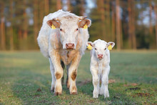 White Charolais Cow And A Calf...
