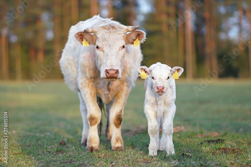 Leinwand Poster White Charolais cow and a calf with pierced ears posing outdoors standing on a g
