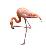 American Flamingo Bird (Phoenicopterus Ruber) Isolated On White