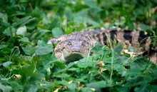 Small Crocodile Hiding In Gree...