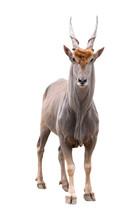 Common Eland (Taurotragus Oryx...