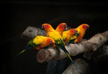 Group Of Sunconure Parrot Bird Dark Background