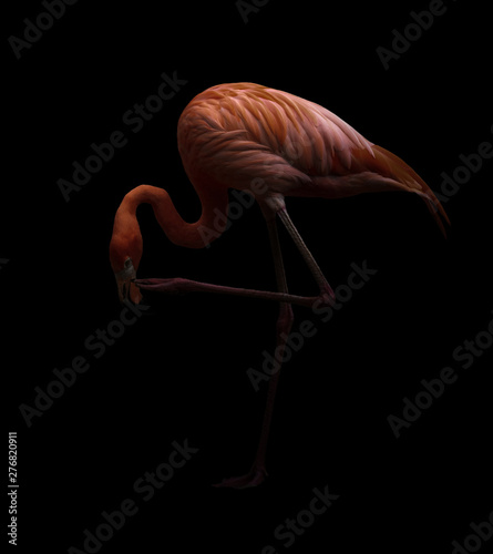 american flamingo bird in dark backhround