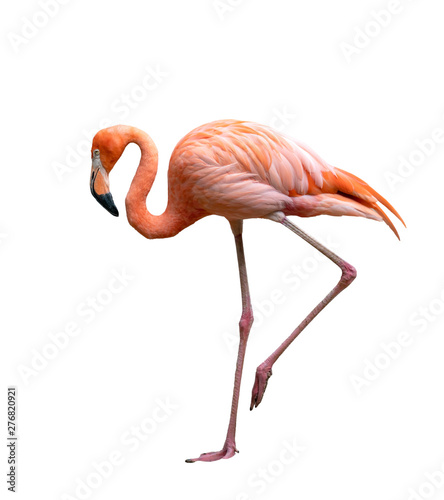 Spoed Foto op Canvas Flamingo american flamingo bird (Phoenicopterus ruber) isolated on white