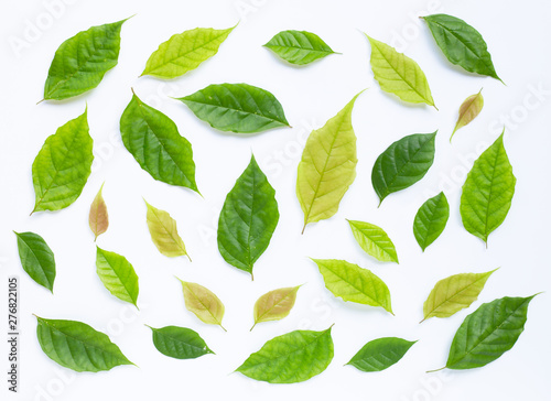 Fototapety, obrazy: Green leaves  on white background.