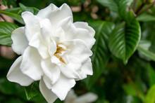 純白のクチナシの花