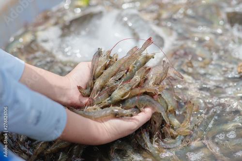 Photo  White shrimp placed on hand