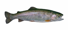 Rainbow Trout Salmon Fish Isol...