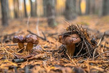 Polish mushroom of the Boro...