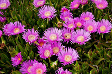 Carpbrotus (also Known As Pigf...