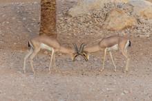 A Pair Of Arabian Sand Gazelle...