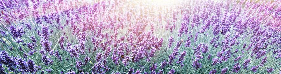 Panel Szklany Lawenda Purple Lavender in flower field background