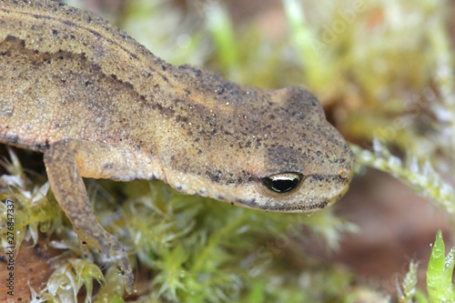 Fotografie, Obraz Lissotriton vulgaris, known as the smooth newt or the common newt