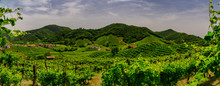 Panorama Of The Vineyards Of Prosecco Vineyards