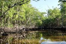 Using A Airboat To See Mangroves