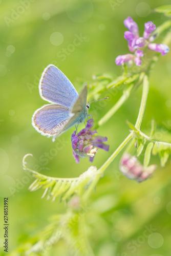 Poster Ecole de Danse Bluebird butterfly on a summer meadow