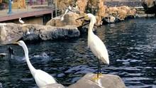 Snowy Egrets Showing Their Yel...