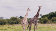 Two Giraffes Walking Toghether Through The National Park In South Aftrica.