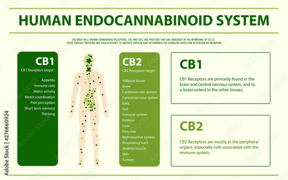 Fototapety, obrazy: Human Endocannabinoid System - Endocannabinoid System horizontal infographic illustration about cannabis as herbal alternative medicine and chemical therapy, healthcare and medical science vector.