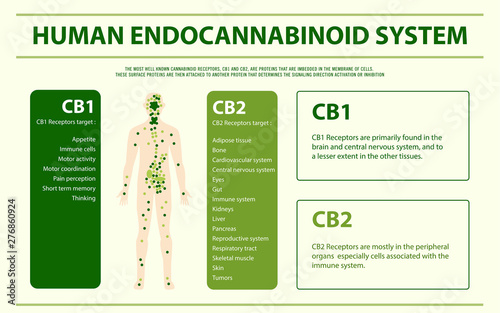 Fotografia Human Endocannabinoid System - Endocannabinoid System horizontal infographic illustration about cannabis as herbal alternative medicine and chemical therapy, healthcare and medical science vector