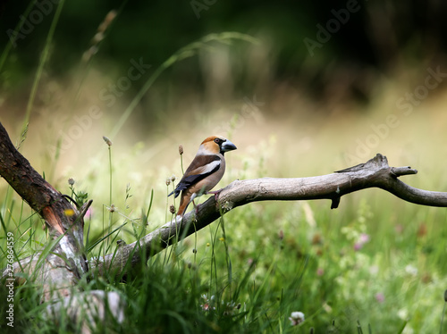 Fotografía A male hawfinch (Coccothraustes coccothraustes) sits on a thick branch against a background of blurred grass