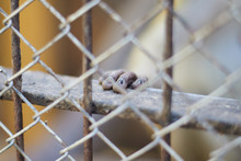Monkey's Little Hand On The Metal Bar Behind The Cage