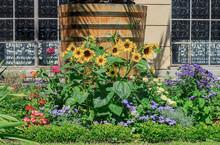 Yellow Sunflowers Growing Near House In Summer Garden