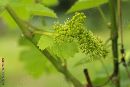 Obraz na płótnie close-up of flowering grape vine, grapes bloom in summer day