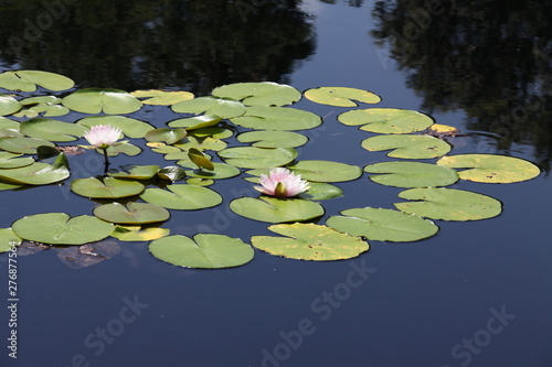 Canvas-taulu water lily blooming