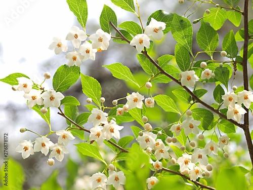 Obraz na plátně  エゴノキの花