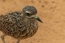 A Spotted Thick Knee (Burhinus Capensis) Stands And Looks Around In The Desert Sand. Native To South Africa, Ethiopia, Kenya, Tanzania, And Other Parts Of Central Africa.
