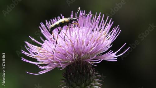 insetto su cardo Fototapeta