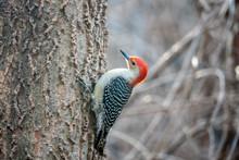 Red-bellied Woodpecker ,Melane...