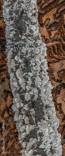 Fotografie, Tablou polypores on tree trunk in forest