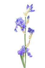 Blue Iris Flower With Long Stem And Green Leaf Isolated On White Background. Cultivar With Ruffled Flowers From Tall Bearded (TB) Iris Garden Group