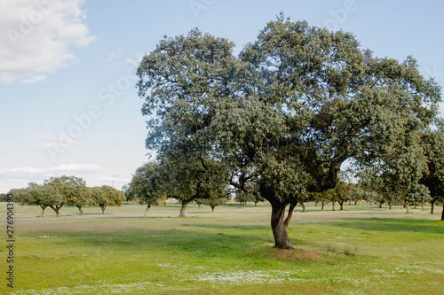 Quercus ilex or holm oak trees grove in Extremadura, Spain Canvas Print