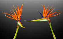 Strelitzia Reginae, Bird Of Paradise Or Crane Flower Realistic Vector Illustration. Exotic Plant With Orange And Purple Petals From Different Viewing Angles Isolated On Dark Background, Design Element