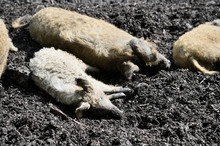Domestic Pigs Lying In The Mud.
