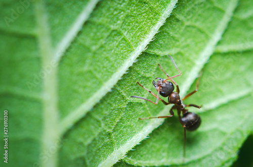Macroshot of small ant sitting on green leaf Wallpaper Mural