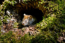 Mouse Vole (Myodes Glareolus) Looks Out Of Tree Hollow On A Sunny Day