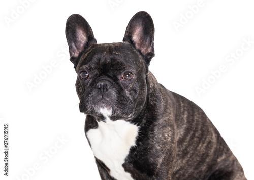 Foto auf Leinwand Französisch bulldog french bulldog breed dog