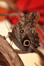 Motyl Egzotyczny
