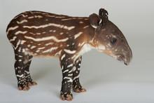 Side View Of Baby Tapir