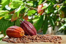 Macro View Of Cacao Ripe
