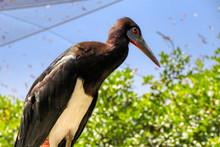 Close Up Of An Abdim's Stork