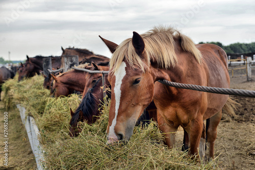 Fototapeta horses eating hay on the farm obraz