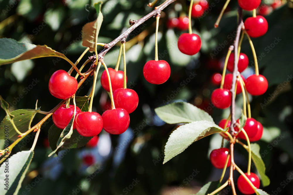 Fototapety, obrazy: Ripe cherry on tree. Harvesting berries in summer. Natural food, eco-farm. Juicy summer background.