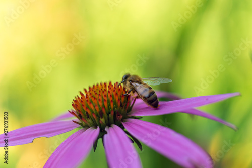 Honey bee on a cone flower in the summer